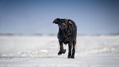 Bat ears (uwe.kast) Tags: labrador labradorretriever labradorredriver welpe puppy hund dog schnee snow nikon nikond3 d3