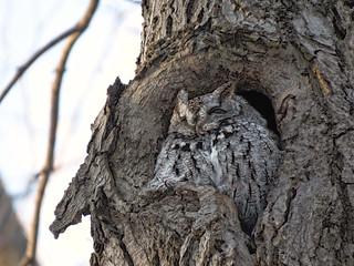 Petit-duc maculé / Eastern screech-owl / Otus asio / img_0335