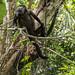 wild howler monkeys gamboa panama pandemonio 2017 - 01