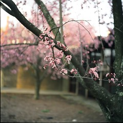 Blooming Branches (Inside_man) Tags: pink 120 6x6 tlr film colors mediumformat colorful minolta bokeh cherryblossom autocord minoltaautocord fuji400h bloomingbranches