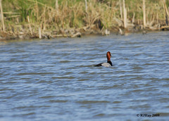 Male Redhead Duck at Alfred Lagoon