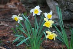 Daffodils (hartjeff12) Tags: daffodils