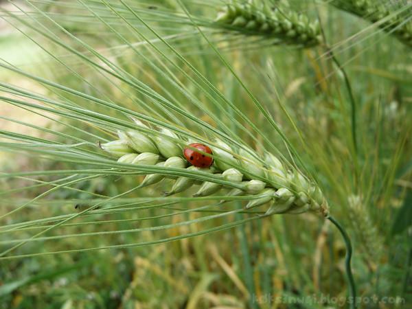 Ladybird on Wheat
