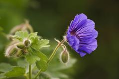 Buds (Grumpy O M) Tags: plants flower garden nikon buds geranium doublefantasy d90 sigma70300apo floralfantasy
