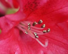 Private Parts (sea turtle) Tags: flowers red flower macro petals style pistil petal stamen azalea stigma filament anther flowerparts