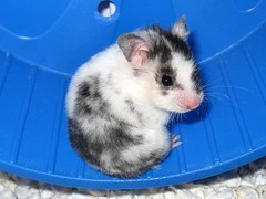 Willa- The World's Cutest Hamster (locomom) Tags: pet cute sweet hamster hamsters syrian