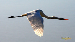egret (artfilmusic) Tags: bird egret anawesomeshot