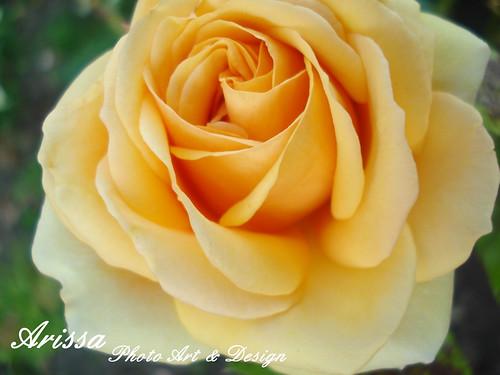 golden rose2