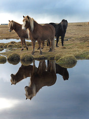 Tveir vinir (Anna.Andres) Tags: fab horses horse nature animal iceland explorer contest kingdom explore bec reflexions soe sland lifeshot outpost ogm themoulinrouge galope naturesfinest goldaward 333views hestar blueribbonwinner greatphotographers passionphotography golddragon fivestarsgallery abigfave hpphotosmartr817 shieldofexcellence goldmedalwinner slenskihesturinn impressedbeauty visiongroup onlyyourbestshots holidaysvacanzeurlaub 200750plusfaves superbmasterpiece diamondclassphotographer flickrdiamond megashot superhearts jalalspages amazingamateur excellentphotographerawards flickrelite jalalspagesanimalkingdom betterthangood theperfectphotographer thegardenofzen theroadtoheaven thegoldendreams goldstaraward photosexplore exploreheaven thebestofday gnneniyisi multimegashot topcontacts professionalequineimages goldenheartaward 100commentgroup thetempleofaphrodite lesamisdupetitprince ghacontest goldenmasterpiece reflectsobsessions sailsevenseas