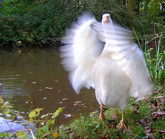 Hello, I love you (zenera) Tags: life thanksgiving family bird love nature wet water birds animal happy geese interestingness interesting wings pond nikon friend pretty you zenfli joy aves goose explore flapping miss iloveyoutoo esmerelda oiseau graden vie essie oie  featheryfriday nikonstunninggallery anawesomeshot