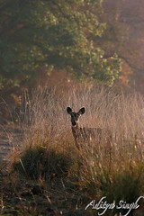 Sambar in grasses (dickysingh) Tags: wild india nature animals stag outdoor wildlife deer aditya ungulate rajasthan ranthambore herbivore singh sambar ranthambhore dicky tigerreserve adityasingh dickysingh ranthamborebagh theranthambhorebagh wwwranthambhorecom