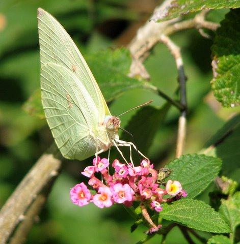 b'fly on lantana flower galibore161207 S3