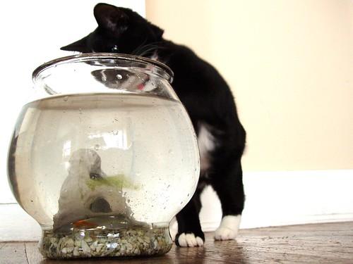 cat v. fish