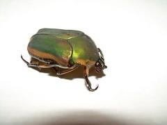 God Sent Express 05 (chromeandglass) Tags: scarab jewelscarab