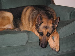 mookie (greenecounty) Tags: dogs couchpotato sheperd olddog womansbestfriend germansheperd