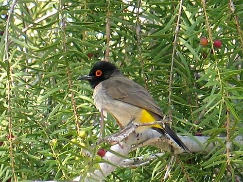 Namibian Bird