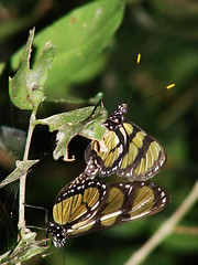MATING BUTTERFLY (Magda Reis) Tags: butterfly mating