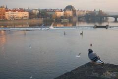 Pigeon's view (tokvikava) Tags: voyage travel bird river prague pigeon prag praha rivire czechrepublic vltava rpubliquetchque moldau eskrepublika