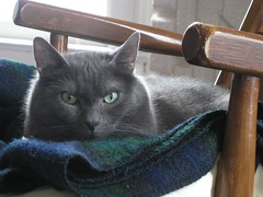 The King (Leya :P) Tags: portrait cats face cat nose grey eyes greeneyes russianblue instantfave