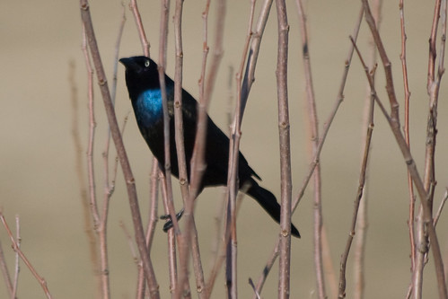 Grackles are Back!
