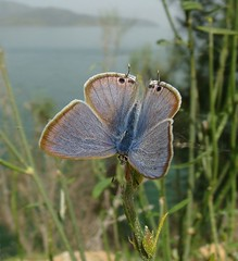 Long-tailed Blue - Lampides boeticus (Camerar) Tags: blue turkey butterfly butterflies insects dalyan kelebek longtailed mugla lampidesboeticus longtailedblue