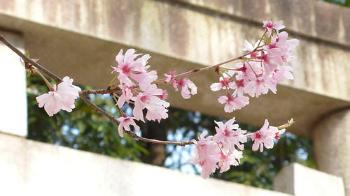 Tokyo Sakura 07