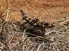 Thorny Devil Lizard at Ayers Rock