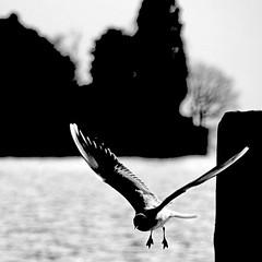 Gabbiano del Lago d'Iseo (pom.angers) Tags: canoneos400ddigital february 2009 localitàsensole sensole monteisola lagodiseo brescia lombardia italia italy europeanunion bird gabbiano gull seagull 100 200 300 150 5000