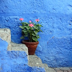 another geranium with the blues ... (Z Eduardo...) Tags: blue flower peru wall stairs unesco worldheritagesite monastery geranium arequipa monasterio mosteiro santacatalina superaplus aplusphoto platinumheartaward bestcapturesaoi elitegalleryaoi artistoftheyearlevel3 artistoftheyearlevel4 artistoftheyearlevel5 artistoftheyearlevel6