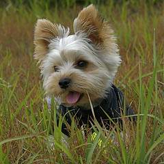 Rest for a moment (shinichiro*) Tags: dog macro yorkie japan nikon order d200 crazyshin 18200 2007 aroundhome flickrsbest mywinners abigfave impressedbeauty superbmasterpiece diamondclassphotographer dogsall gettyselect order500 order20101106
