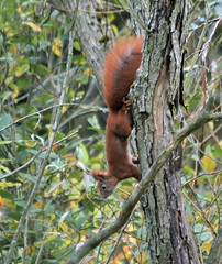 Red squirrel by the canal - IMG_0619a