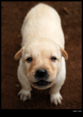 puppy (sash/ slash) Tags: dog puppy sash newborn sajesh nikond80 pattom