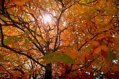 Otoño (Indominicatum) Tags: madrid autumn tree leaves hojas árboles otoño aplusphoto diamondclassphotographer thegoldenmermaid