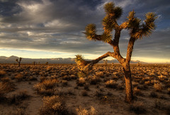 Joshua Tree at Sunset (sandy.redding) Tags: california sunset landscape bravo desert creativecommons blogged sierranevada joshuatrees mojavedesert photomatix tonemapped explored tokinaatx124prodx thesecretlifeoftrees bestnaturetnc07