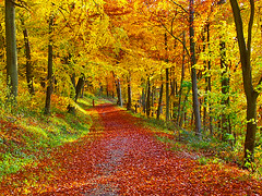 Through the woods (algo) Tags: autumn trees england leaves photography gold interestingness topf50 topv555 bravo colours path topv1111 topv999 topv222 explore algo topf100 100f chilternforest magicdonkey 50f flickrsbest explore7 golddragon anawesomeshot 200750plusfaves flickrelite ostrellina