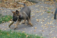 Struggle (cwgoodroe) Tags: dog color cute fall home tongue closeup ball puppy oakland furry puppies shepherd teeth watching guard fluffy ears canine running run german floppy cuddle stick chew gnaw germanshepherd attention ran trot guarding k9 observant gsd cutepuppy alet sephard germanshepherdeyes