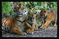 3 Sumatratiger ... 3 sumatran tigers (omk1) Tags: cats baby cute animal cat cub tiere photo foto little photos tiger fotos tigers katzen tigre sumatran satu dua niedlich wilhelma kleine catofprey ss tierfotos sumatratiger animalphotos tierkind impressedbeauty tigerchen tigerphotos loh h tigerfotos flickrbigcats