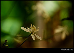 flower (Ashok A Menon) Tags: india flower kerala ashok trivandrum watcher nikond40x d40x macroflowerlovers