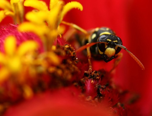 A wasp sees red