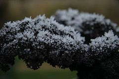icy kale