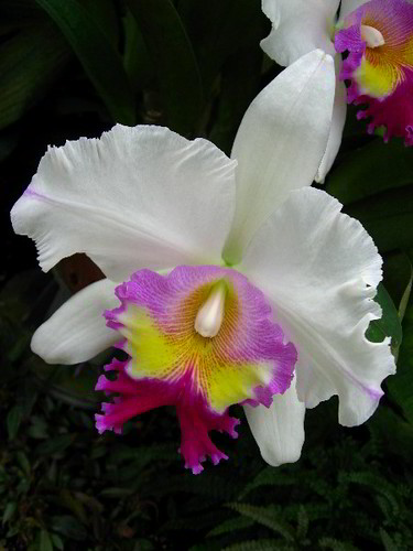 Orchid Flower displayed by American Orchid Society, Delray Beach, Florida