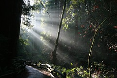 Muir woods with morning light (cindyli) Tags: ca trees nature morninglight woods outdoor muirwoods redwood raysoflight
