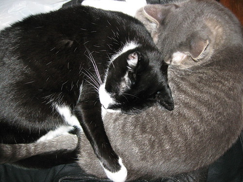 Cat yin yang