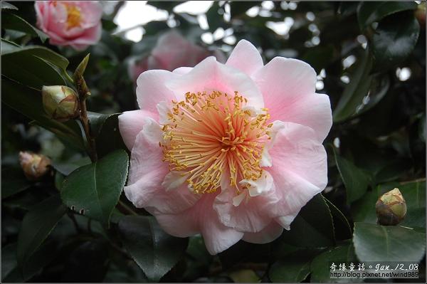 DSC_7125茶花