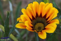 Gazania - This one's for you, Dad (Herb Dunn (YosemiteJunkie)) Tags: flower gazania naturescall mywinners herbdunn dunnrightphotography goldentrophy