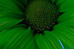 My First lightbox macro green flower~March 2007 (Cindy's World) Tags: canada flower macro green floral nb newbrunswick taketime111 1on1colorfulphotooftheday 1on1colorfulphotoofthedaymar2007 1on1colorfulgroup wowiekazowiegroup