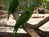 Green Parrot At Crocodile Farm (Bradfordian Cliff) Tags: green philippines parrot palawan crocodilefarm palawanwildliferescueandconservationcenter
