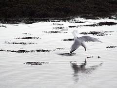 Saut de l'ange (Magali Deval) Tags: ocean sea mer bird seagull breizh oiseau goeland