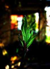New Growth...Nature at Work (mightyquinninwky) Tags: green leaves spring bush dof bokeh lexingtonkentucky bud frontyard sprouts picnik 2007 earlyspring newgrowth fontaineroad lastspring chevychasearea fayettecountykentucky townehome centralkentucky top20green top20spring thebluegrassstate top20greenish ortaon