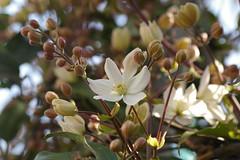 アーマンディー・アップルブロッサムの花